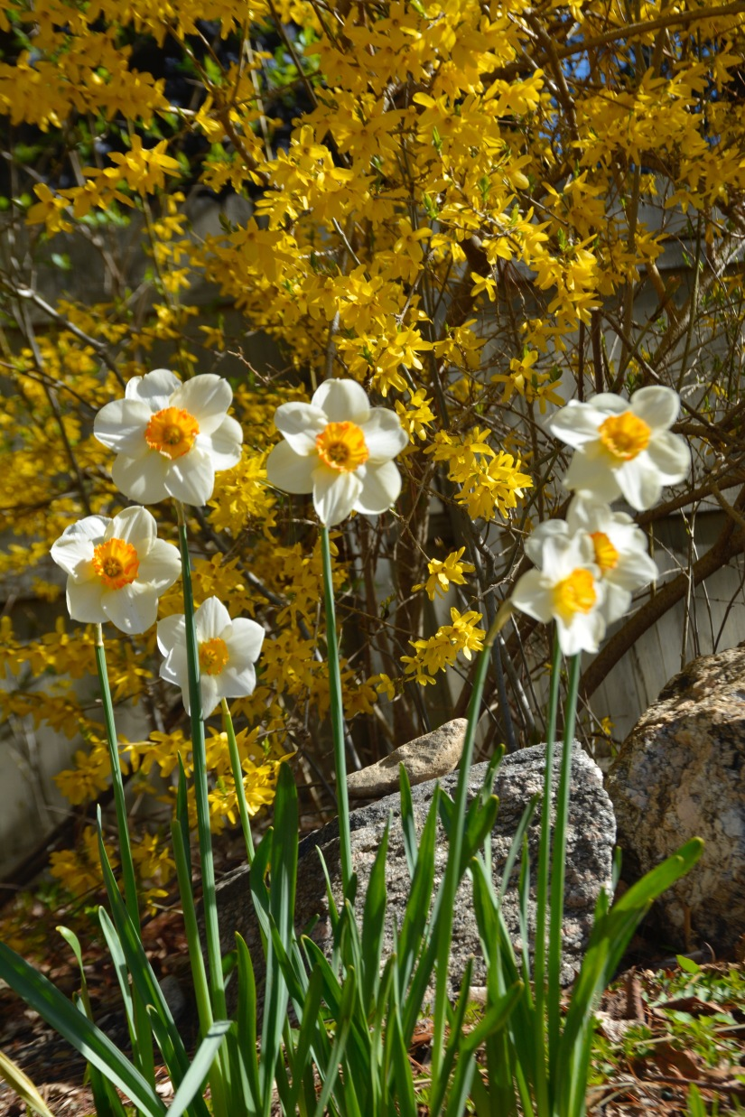 Yellow flowers goodbody garden fort stamford xdaffodils mightylinksfo Gallery
